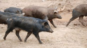 Wild hogs are in all of South Carolina's counties, largely because of relocation by hunters.