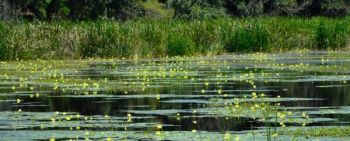 Banana water lily is a great aquatic plant to help jump-start a moist-soil management program.