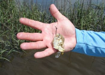A scent of a crab chunk on the bottom will attract the attention of any redfish in the area; it's one of their favorite foods.