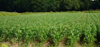 Corn is a popular crop for landowners planning to plant waterfowl impoundments for fall flooding. A relatively new strain allows for later planting.