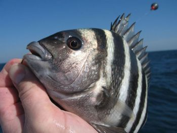 A sheepshead's powerful jaws and dental work can make quick work of terminal tackle that's not up to the task.