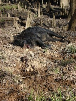 Wild hogs are a popular species across South Carolina; they can be taken on WMAs while hunting for other species using legal weapons.