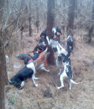 Veteran bear hunters usually have a plan on when and which dogs to release during an active strike and chase, leading to the treeing or baying of a bruin.