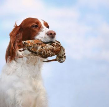 Woodcock are an often-overlooked upland game bird in South Carolina, but they can provide bird dogs with plenty of exercise and hunters with a great antidote to cabin fever.