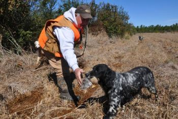 Jerry Simmons' setter, Fate, brings a female bobwhite quail back to her owner.