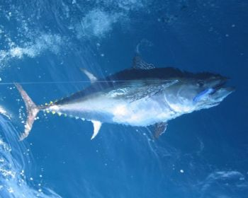 Boats out of Hatteras have been running into bluefin tuna north of Diamond Shoals.