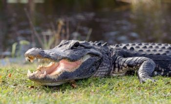 South Carolina's public alligator season opens Sept. 10. June 15 is the deadline for permit applications.
