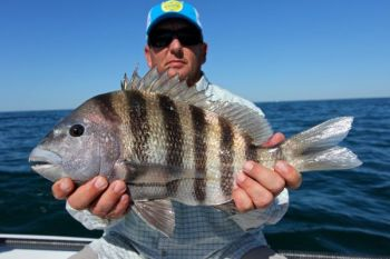 Sheepshead make a living feeding on things that attach to pilings and rocks, and Charleston anglers can take advantage of that.