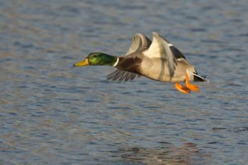 Waterfowling changes in Uwharrie