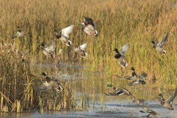 Late waterfowl seasons are set