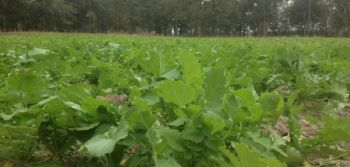 Turnips are brassicas, which provide tremendous forage for deer and other wildlife toward the end of the season.