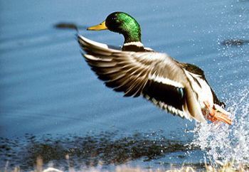 It's time to apply for public waterfowl draw hunts.