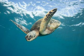 Interactions with sea turtles has forced the NCWRC to close some estuarine areas to gill nets.