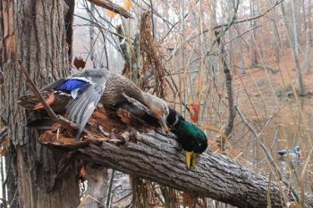 Most ducks shot over decoys can be taken with 3-inch, 12-gauge loads of No. 2 shot.