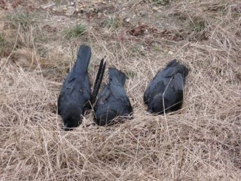 "Dead crows can be added to decoy spreads for realism and to attract crows to help a ""dying"" comrade."
