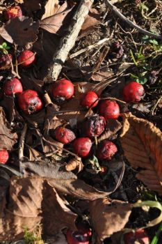 Berries like crabapples (above) and smilax are prime foods for grouse during the winter.