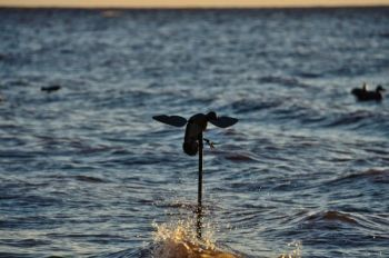 Spinning-wing decoys can add enough motion to a decoy spread to get wary ducks to commit and drop in for a visit.