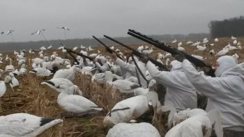 Full-choked shotguns and large, heavy loads of non-toxic shot are the norm when targeting snow geese.