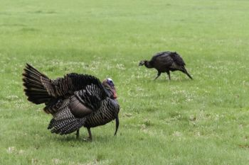 The NCWRC and NWTF are holding 24 turkey hunting seminars at 12 locations throughout the state during March and April.