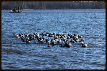 These decoys are all on Decoy Rafts, which make quick work of setting out and retrieving dozens of decoys.