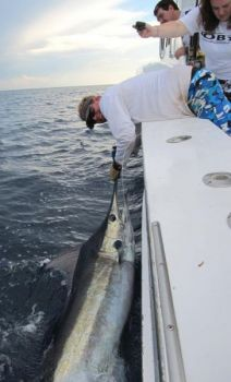 The Labrador Current and Gulf Stream collide off Cape Hatteras, making those offshore waters among the best in the world for a variety of bluewater fishing, including blue marlin.