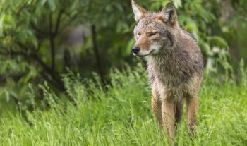 The bill mandating the SCDNR to tag at least 12 coyotes with $1000 bounties moved forward this week when it was passed by the S.C. House.