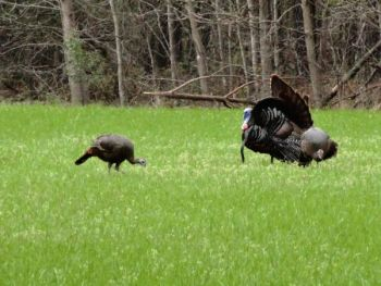 Don't give up on aggressive calling as the end of the season approaches; it's a tactic that just might work on a gobbler or two.