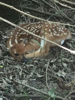 Whitetail fawns give off hardly any scent for the first month of their lives, a great way of protecting them from predators.