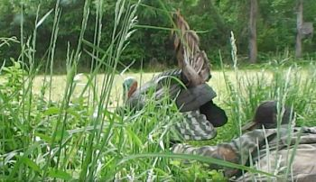 Guide Karl Helmkamp lets his strutting jake decoy, Biggie Smalls, do his stuff.