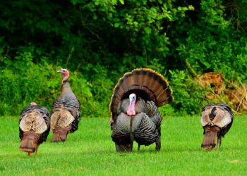 Bag those late season gobblers with these tips from the editor of South Carolina Sportsman Magazine.