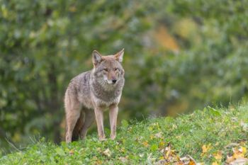 A new Senate proposal has breathed new life into the coyote bounty hunting program.