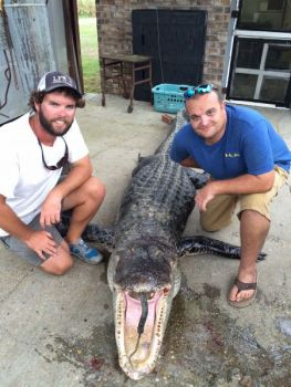 Brad Leigher and Hunter Neeley killed this big gator at Santee on the first Monday of the 2016 season. The beast weighed over 600 pounds and measured 12 feet 9 inches long.