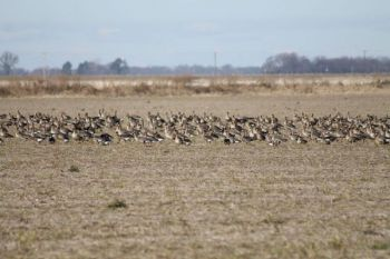 Hunters across most of both Carolinas have open seasons on Canada geese through January.