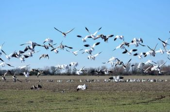 Snow goose populations have skyrocketed over the past 25 years to the point that they were doing significant damage to agriculture and breeding habitat.