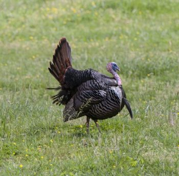 The NCWRC and NWTF are teaming up to offer 14 free turkey hunting seminars across North Carolina throughout the month of March.