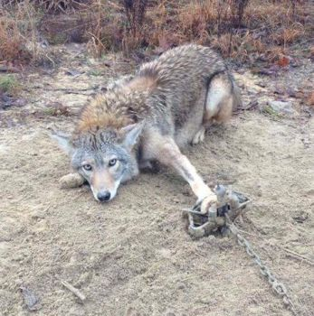 Learn the proper methods of trapping coyotes on March 30 - 31. Registration is limited to first 30 applicants, so apply now.