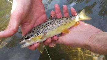 Streams in the Jocassee Gorges produce a lot of brown trout like this one.