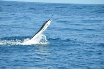 White marlin make a big showing in the bluewater off Oregon Inlet in late summer and fall; double-digit catches aren't uncommon.