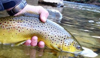 Brown trout will feed heavily as they make their big move upstream to spawn in the fall.