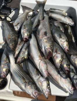 Illegally harvesting striped bass from federal waters landed a dozen North Carolina commercial fishermen in hot water.