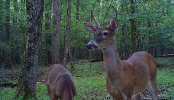 A deer standing rigid with its head high and neck stiff is likely on alert and sensing danger, and it may not stay around much longer.