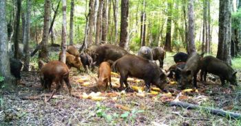 Wild hogs can make a big dent in the forage base that drives local deer herds, eating foods both natural and supplemental.