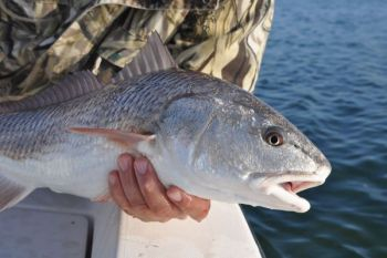Cold weather doesn't slow down the redfish bite in the New River around Jacksonville.