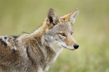 The NCWRC is asking for public input on its Coyote Management Plan draft through Feb. 9, 2018.