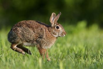 Rabbits are currently in season throughout North Carolina, along with numerous other small game animals.