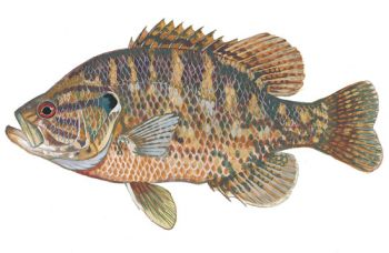 Warmouth sunfish are native to the swamps, smaller rivers of the Carolinas.