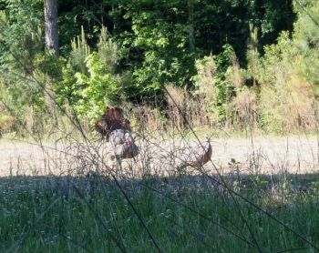 A decoy set up with a strutting jake and a hen is almost too much for any gobbler to resist.