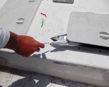 Use the lid of a cooler or livewell to pin down a Spanish mackerel so the hook can be removed safely.