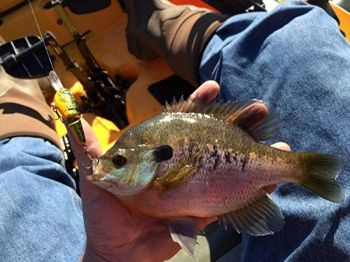 Bedding bream are so aggressive they often strike baits that are too big to swallow.