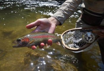 Rainbow trout have a varied diet and will eat anything they can capture. They routinely eat the larval, pupal and adult forms of aquatic insects, plus terrestrials that fall into the water. They will eat fish eggs, shrimp, crawfish and small fish up to one-third of their length.